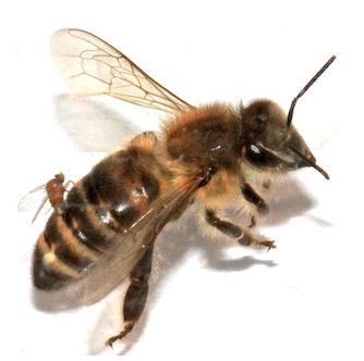 Parasitic Fly on Back on Honeybee