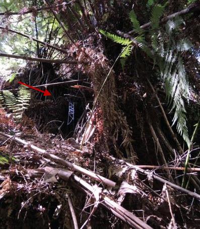 Catching ladder web of Progradungula otwayensis