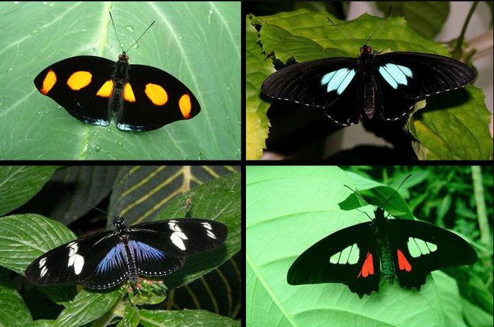 Ultra-Black Butterflies