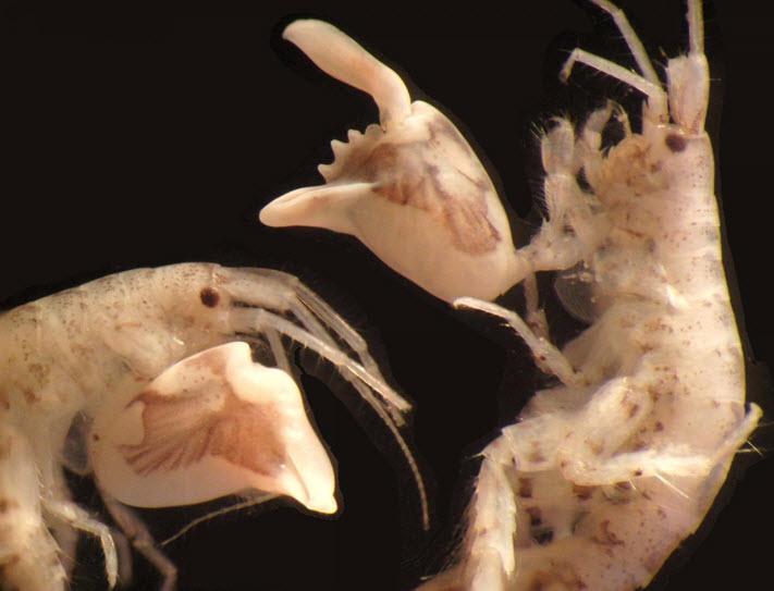 Dulichiella appendiculata claw
