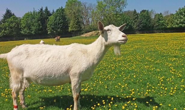 Goat in a field